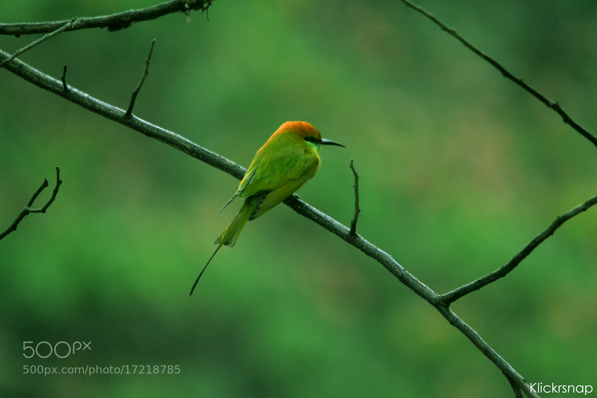 Photograph Silent Bee Eater by Raghuvamsh Chavali on 500px