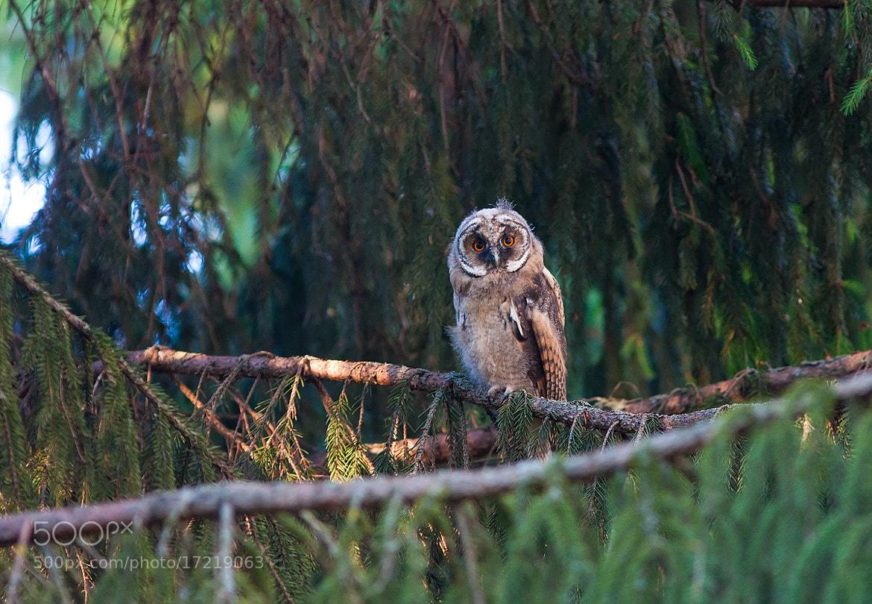Photograph Owlet by Dmitriy Golubev on 500px