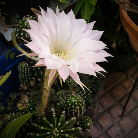 Flower of cactus, Panasonic DMC-LC80