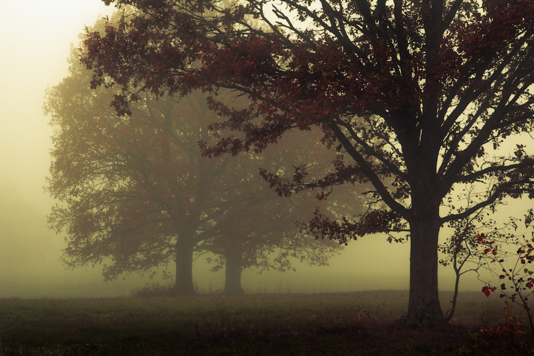 Photograph Three oaks in the fog by Mindaugas Macaitis on 500px