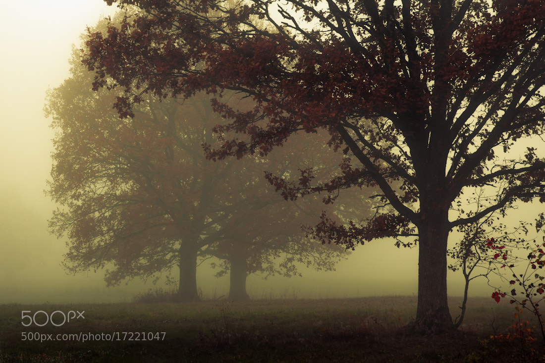 Photograph Three oaks in the fog by Mindaugas Ma on 500px