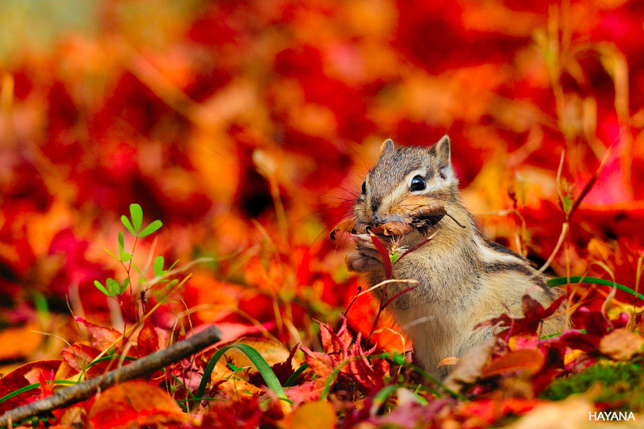 Photograph Autumn Squirrel by Ryu Jong soung on 500px