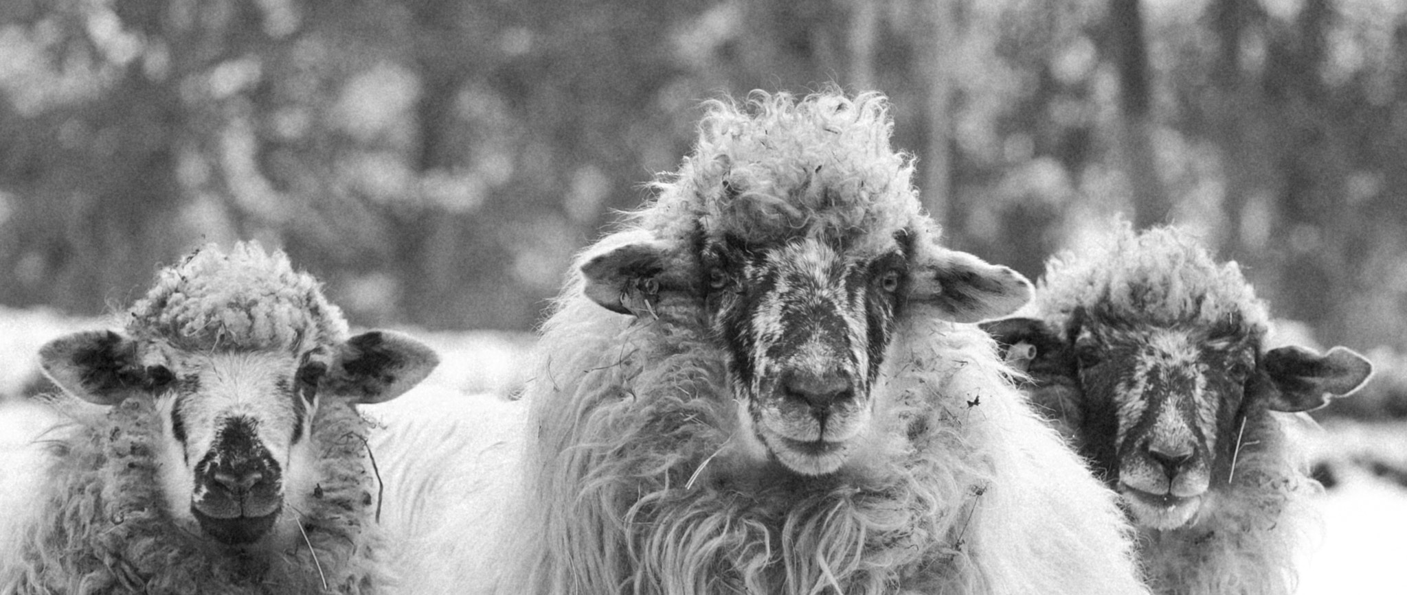 Photograph sheep by marius2die4  on 500px
