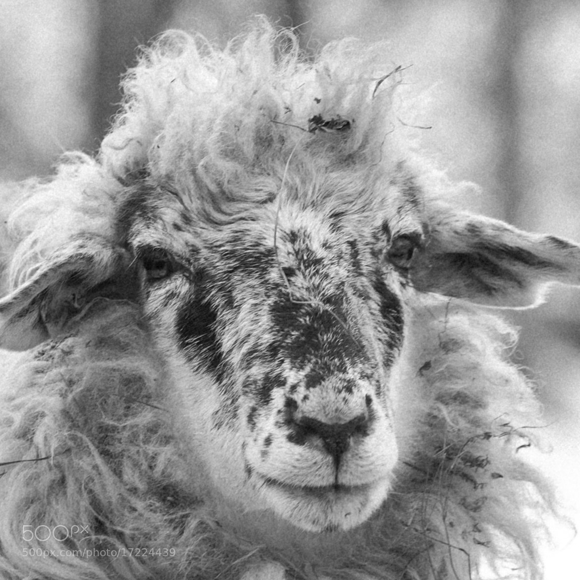 Photograph sheep portret by marius2die4  on 500px