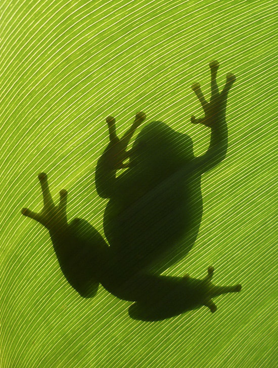 Photograph Frog silhouette by istvan froghunter on 500px