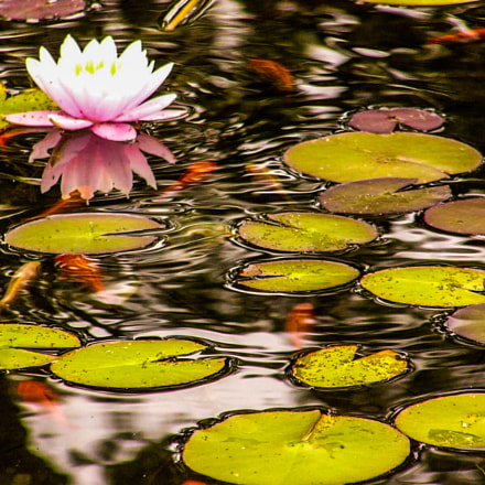 Waterlilies in Montreux, Switzerland, Panasonic DMC-FZ2