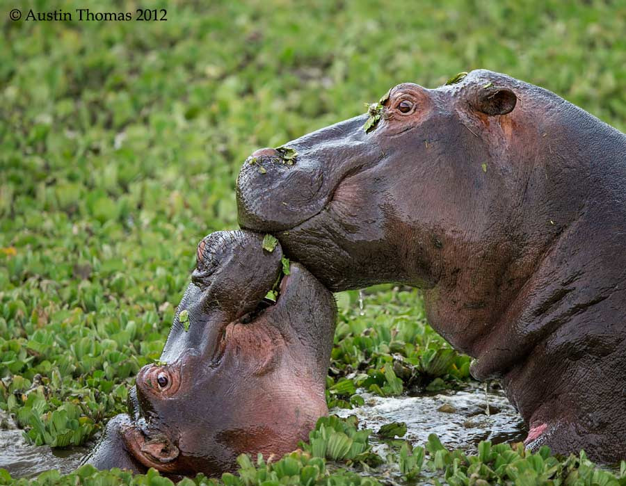 Photograph Kissing Hippos... by Austin Thomas on 500px
