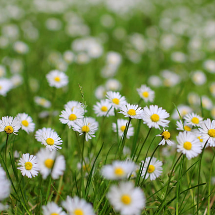 Daisy fields forever., Canon EOS REBEL T3I, Tamron SP 45mm f/1.8 Di VC USD