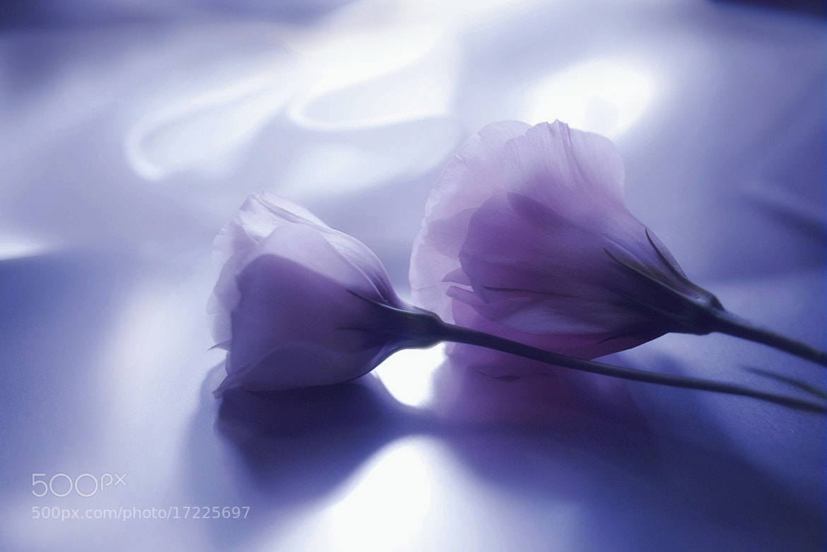 Photograph  Shadow of pale purple by Lafugue Logos on 500px