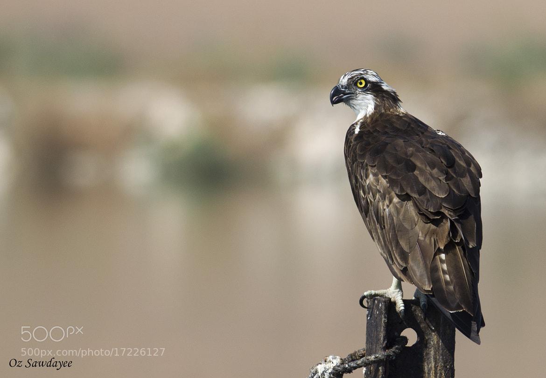 Photograph Osprey (Pandion haliaetus) by Oz Sawdayee on 500px