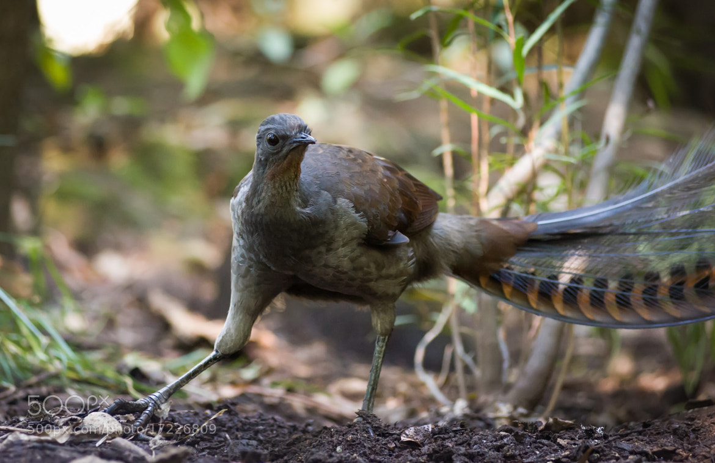 Photograph Lyerbird by Mark Galer on 500px