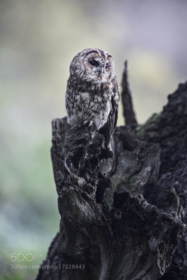 Photograph Tawny Owl! by Sue Demetriou on 500px