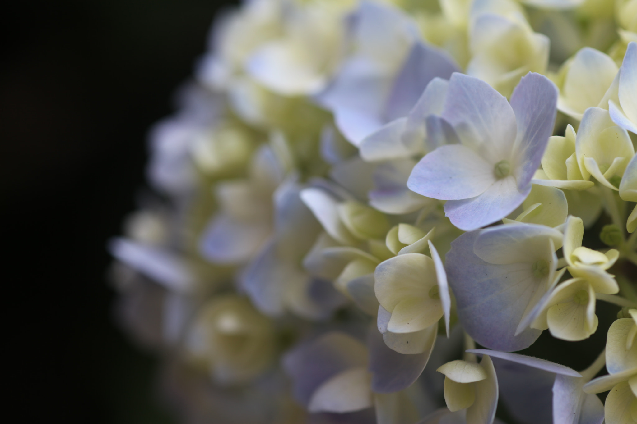 Photograph Hydrangea by Teresa Moore on 500px