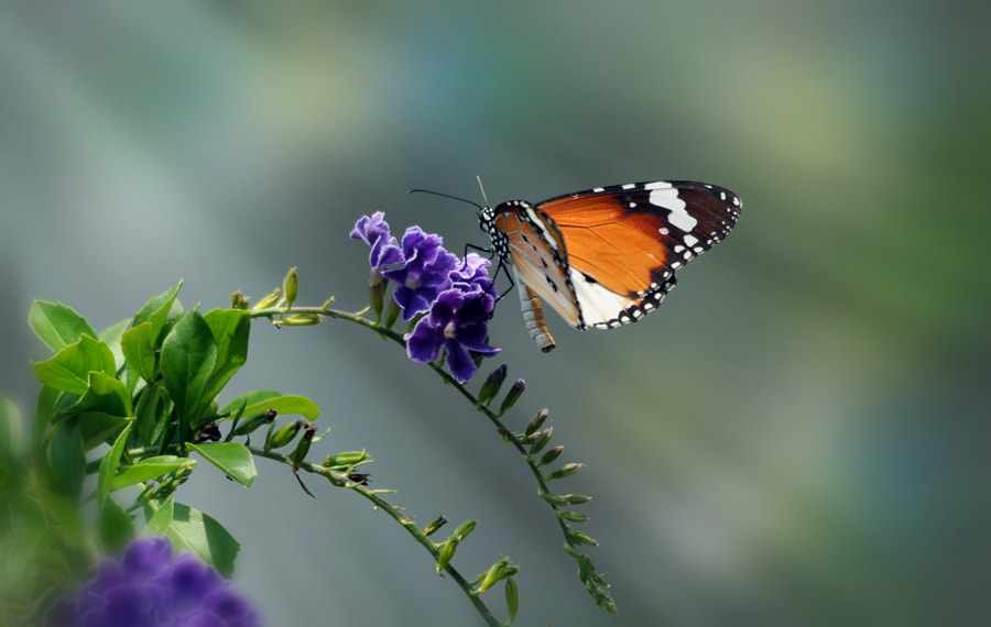 Photograph Butterfly n Flower 5 by Khoo Boo Chuan on 500px
