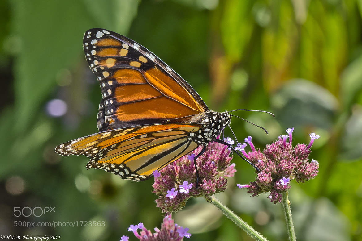 Photograph Monarch Again by Harold Begun on 500px