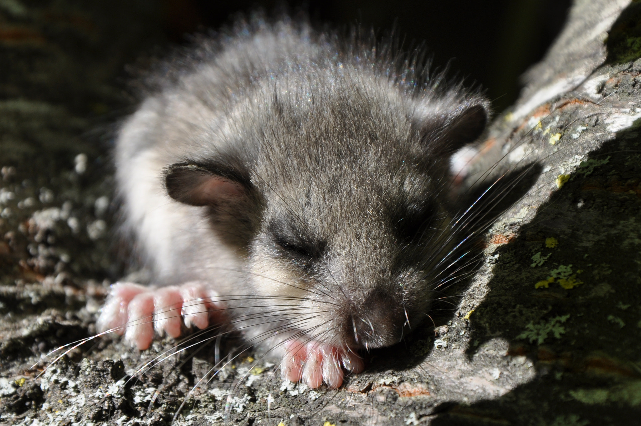 Photograph Dormouse by Simone Righi on 500px