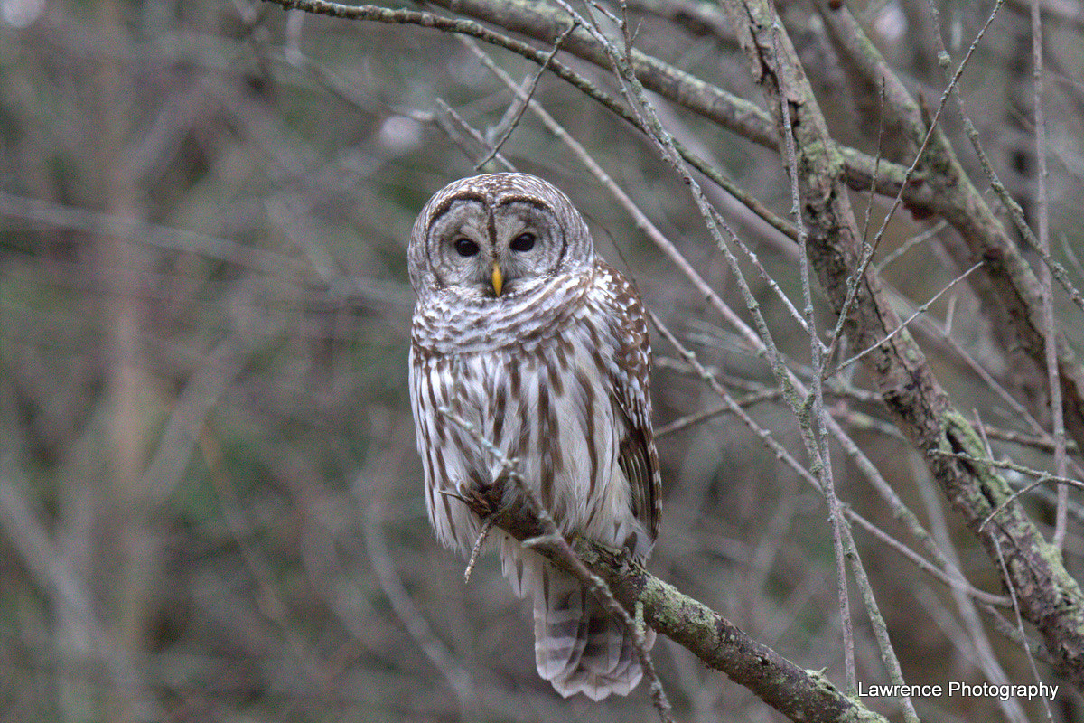 Photograph Barred Owl Curious by Shane Lawrence on 500px