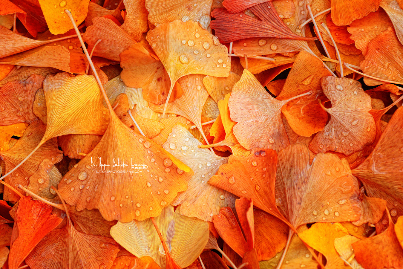 Photograph Ginkgo Fall by Philippe Sainte-Laudy on 500px
