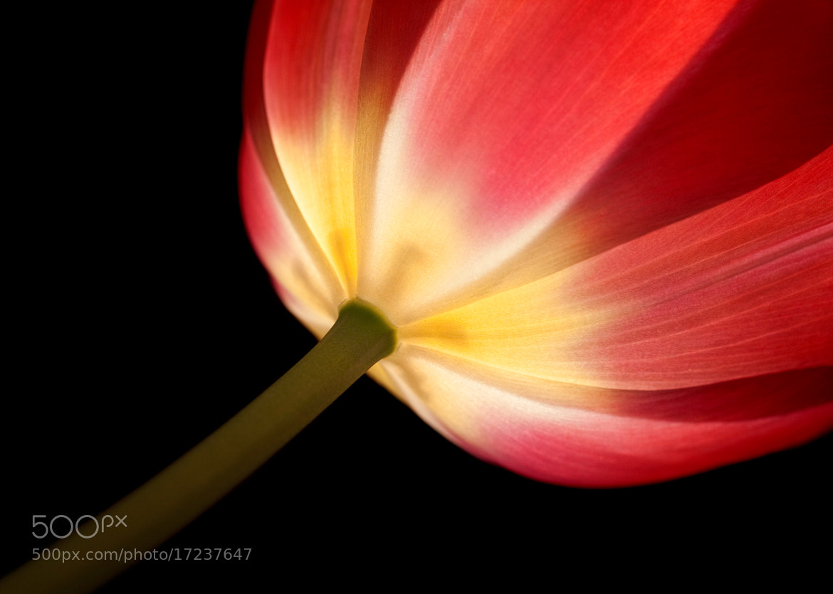 Photograph Tulip 2 by Rachael Talibart on 500px