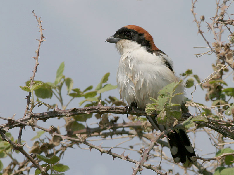 Photograph Woodchat Shrike by Aat Bender on 500px
