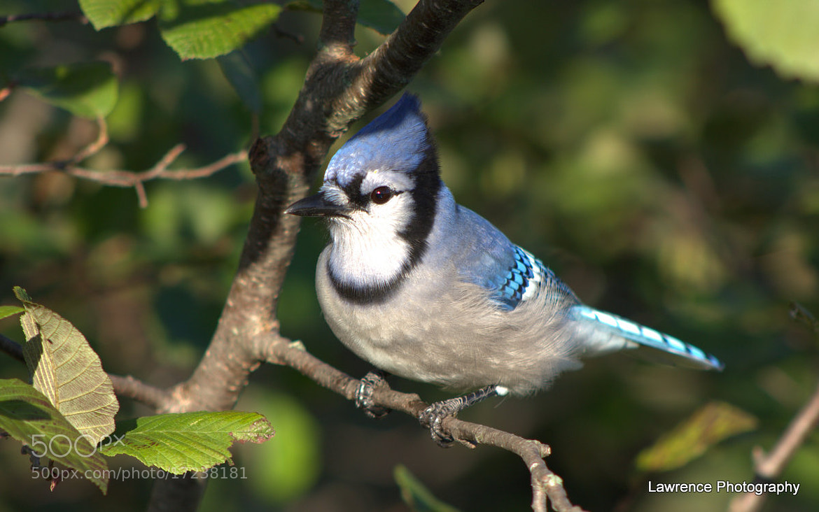 Photograph Blue Jay trying to blend in... by Shane Lawrence on 500px