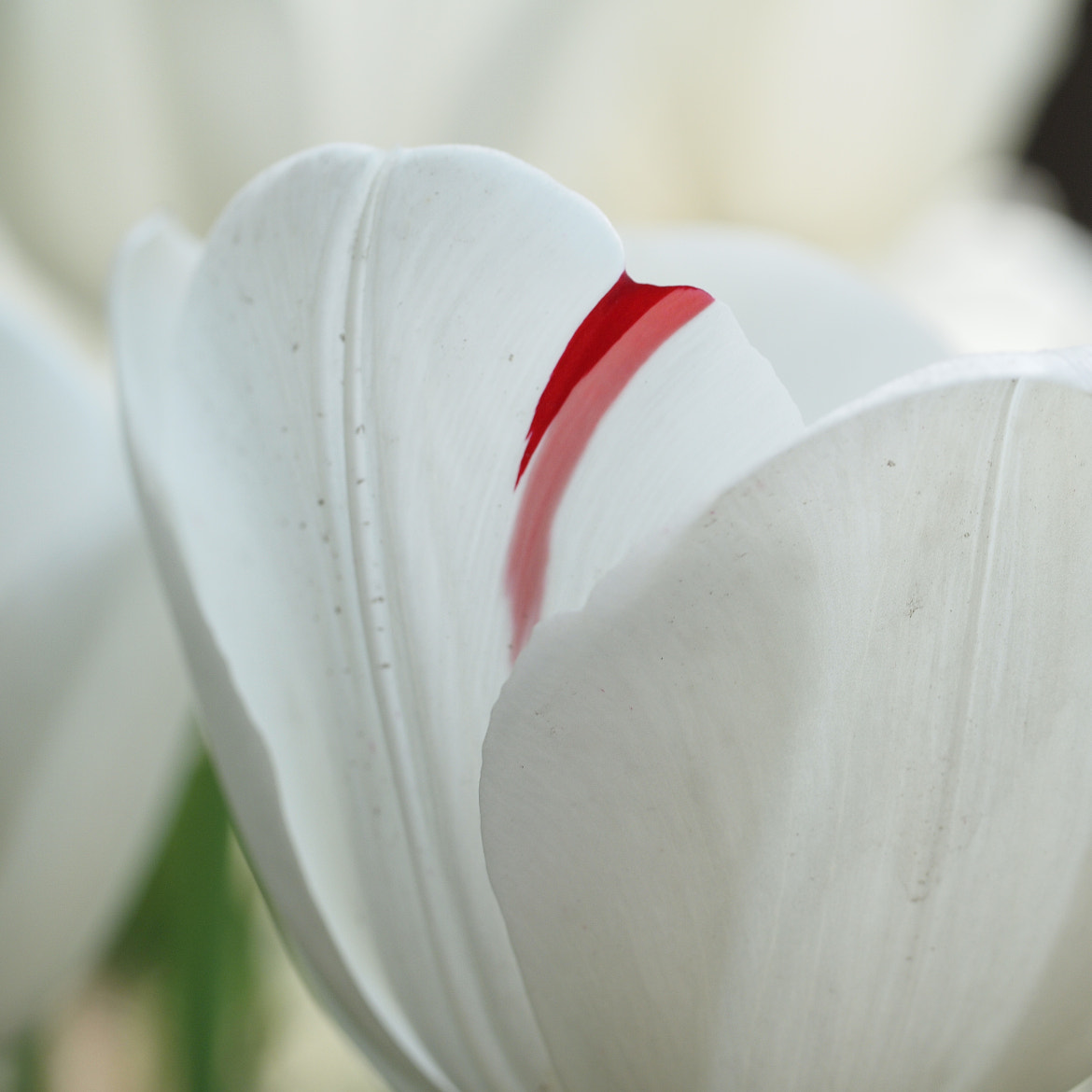 Photograph White Tulip by King Chen on 500px
