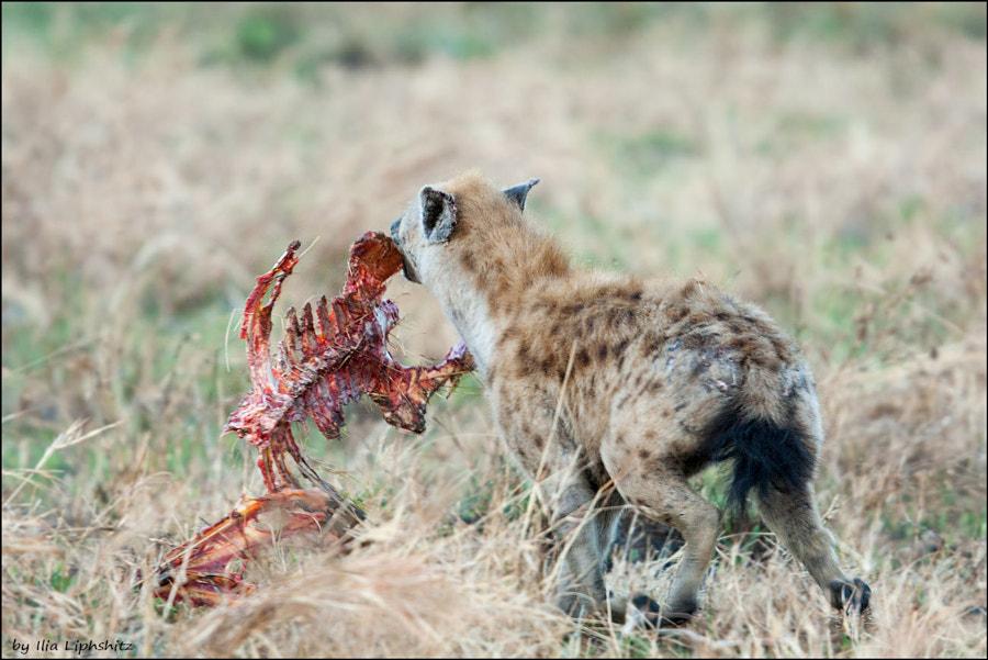 Hyenas of Serengeti №9