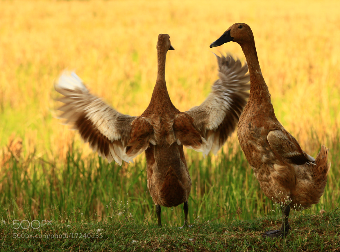 Photograph The other Ducks by Yusuf Tamami on 500px