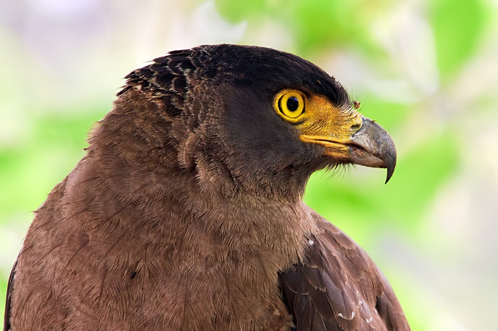 Photograph Portrait : Crested Serpent eagle by Nitin  Prabhudesai on 500px