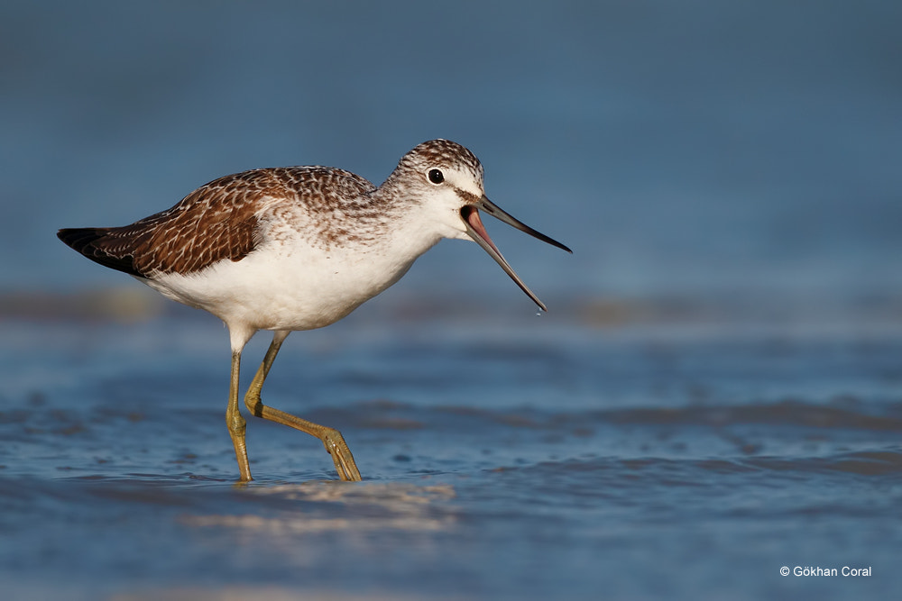 Photograph Common greenshank by Gökhan CORAL on 500px
