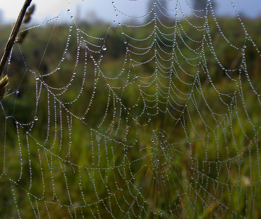 Morning catch - dew pearls. Утренний улов - жемчуг, автор — Vadim Mikhaylin на 500px.com