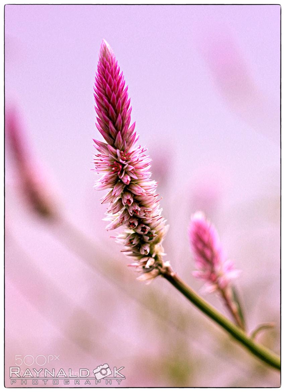 Photograph Violet Grass by Raynald Kartawan on 500px