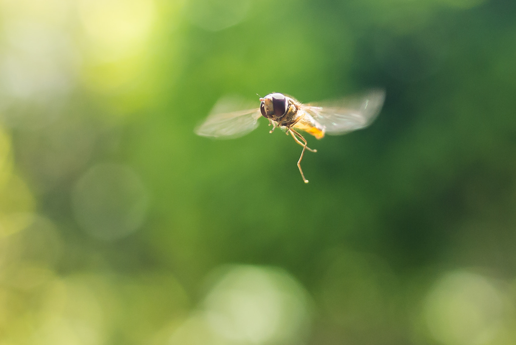 Photograph Syrphe - Hoverfly by Amine Fassi on 500px