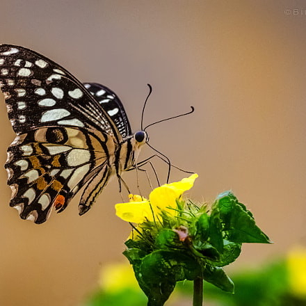 || Common Lime Butterfly (Papilio demoleus) ||