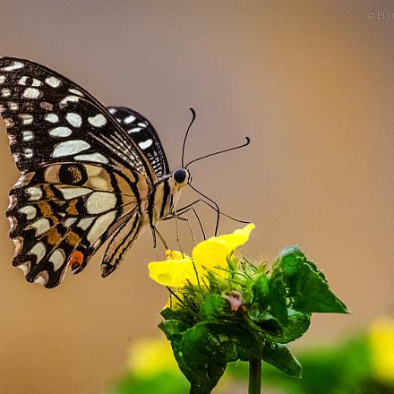 || Common Lime Butterfly (Papilio demoleus) ||