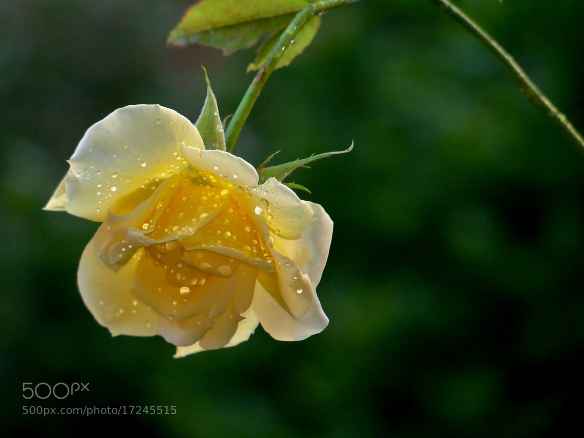 Photograph Yellow Droplet Rose by Nancy Andersen on 500px
