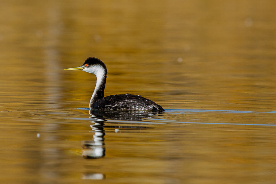 Photograph .: Western Grebe :. by Jon Rista on 500px
