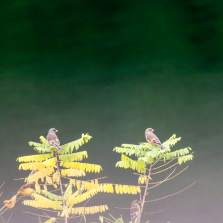Couple of Oriental Greenfinch, RICOH PENTAX K-3 II, HD PENTAX-D FA 150-450mm F4.5-5.6 ED DC AW