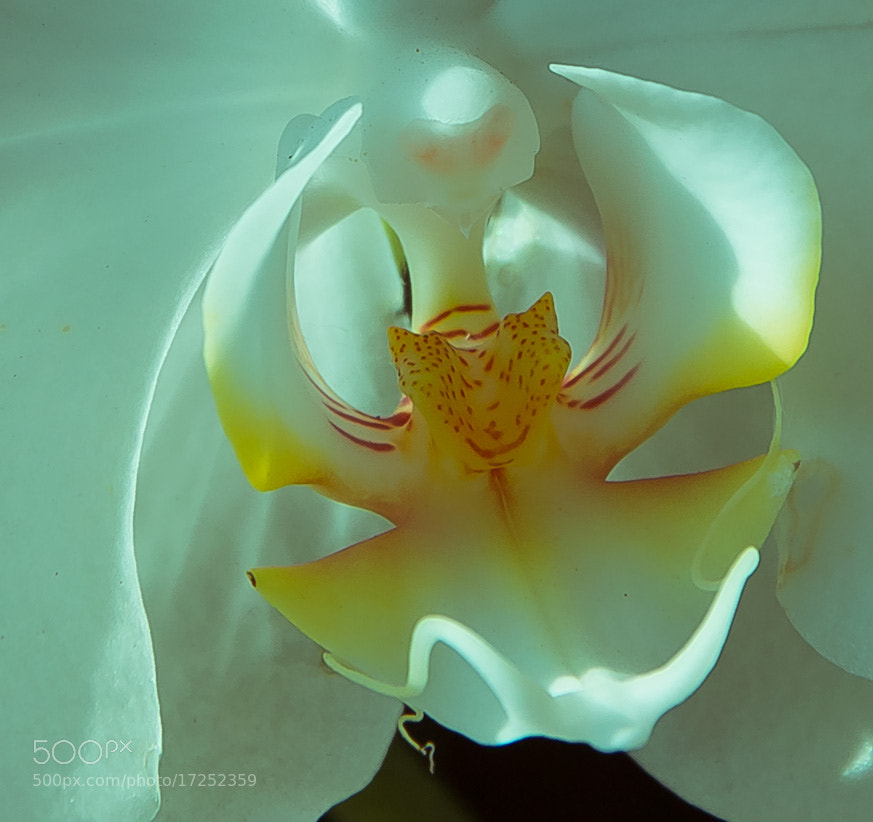 Photograph Orchidaceae by Luka Milevoj on 500px