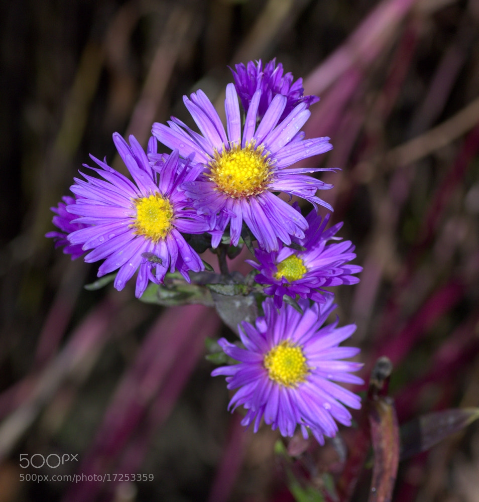 Photograph Michaelmas Daisies by Chrissie Barrow on 500px