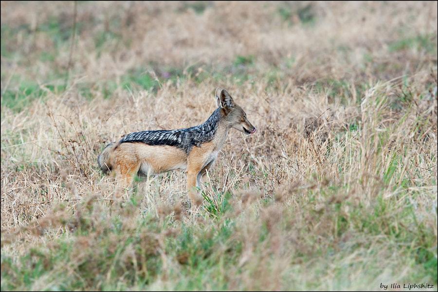 Jackals of Serengeti №7