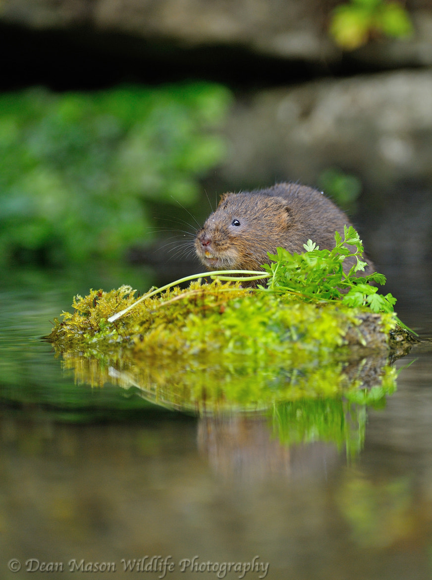 Photograph Water Vole III by Dean Mason on 500px
