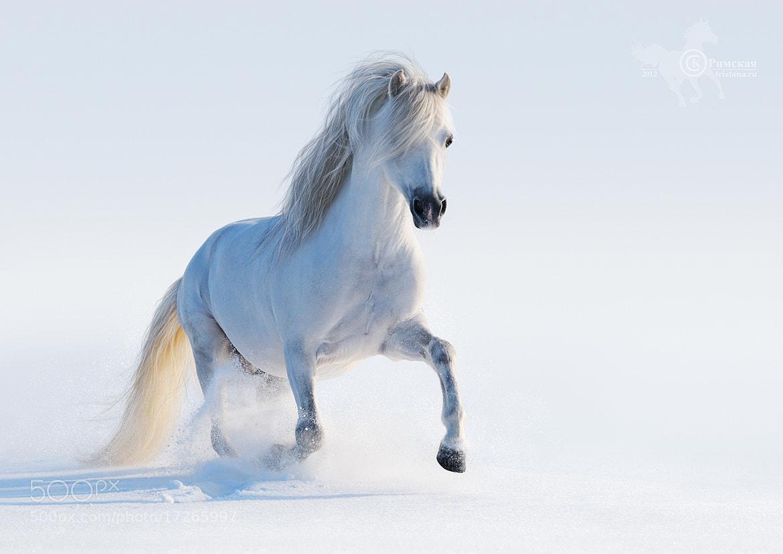 Photograph Gray Welsh pony by Kseniya Rimskaya on 500px
