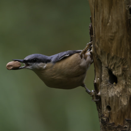 Eurasian Nuthatch., Sony DSLR-A380, Sigma AF 170-500mm F5-6.3 APO Aspherical