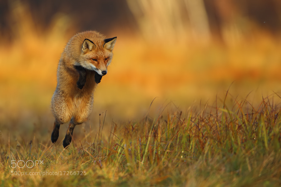 Photograph Flying fox by Marcin Nawrocki on 500px