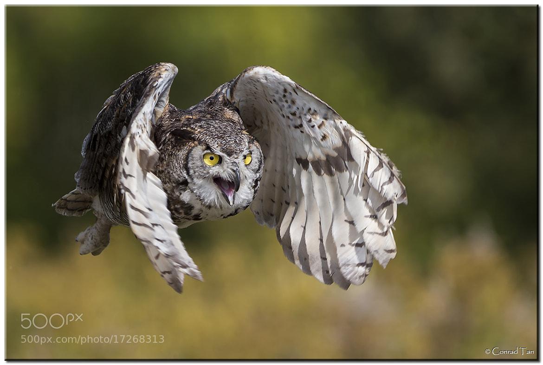 Photograph Barn Owl! by Conrad Tan on 500px