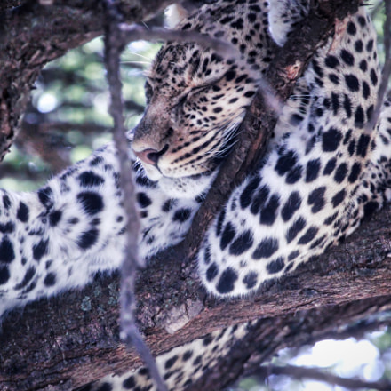 Sleeping leopard, Canon EOS REBEL T3I, Canon EF 100-400mm f/4.5-5.6L IS USM
