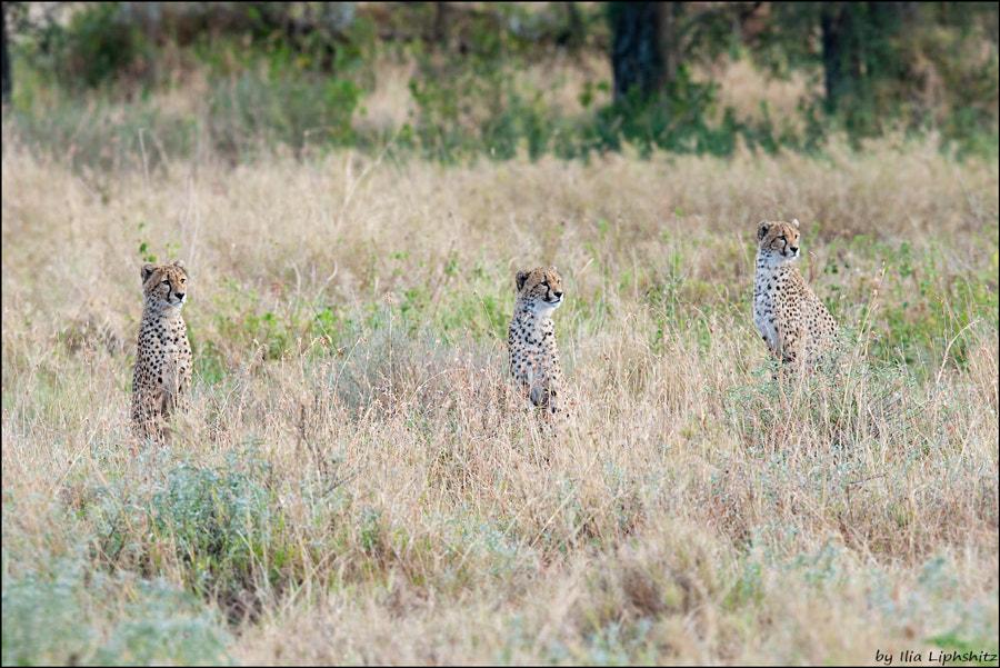 Cheetah cubs - Cheetahs of Serengeti №11