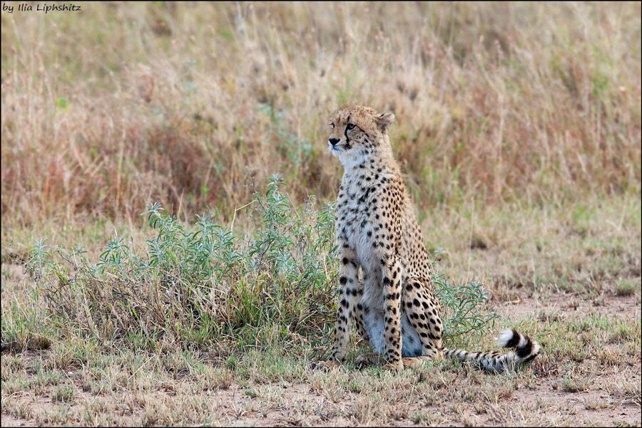 Cheetahs of Serengeti №12