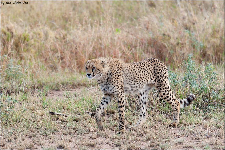 Cheetahs of Serengeti №13